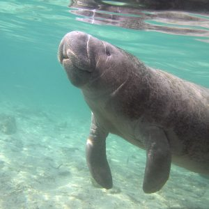 Manatees in Cancun