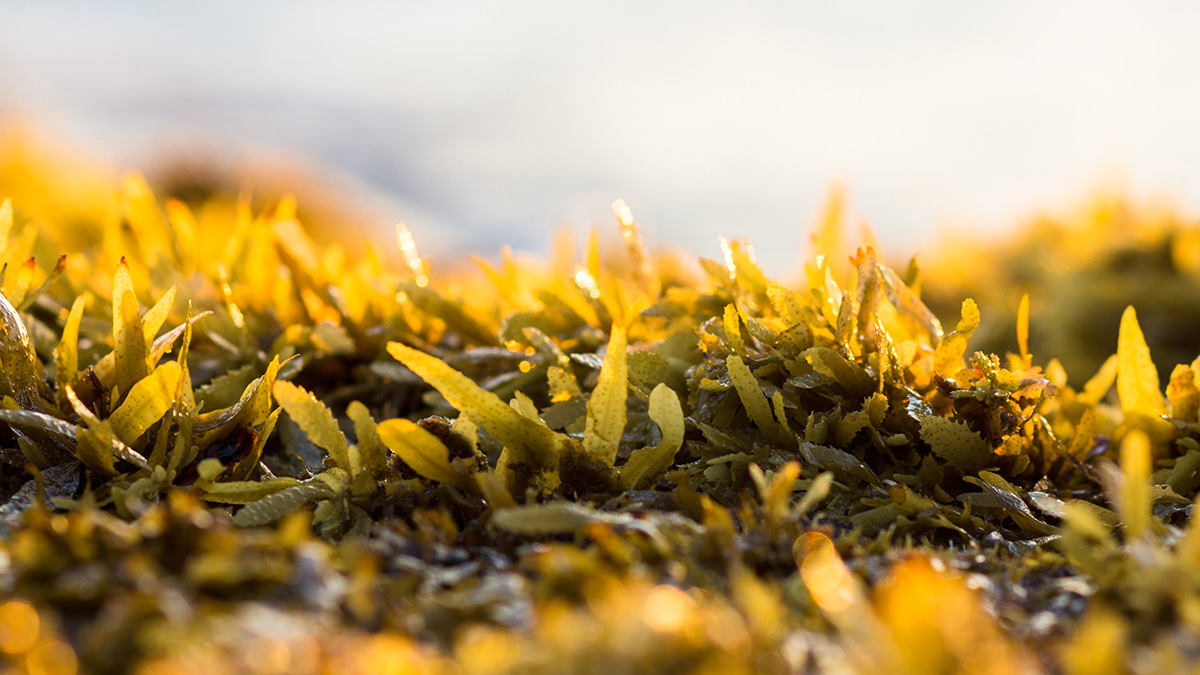 Practical and creative uses of sargassum seaweed in the Caribbean